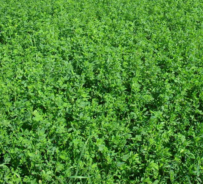 maximizing alfalfa crop yield and profits in NW Ohio