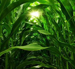 maximizing field corn yield and profits in NW Ohio