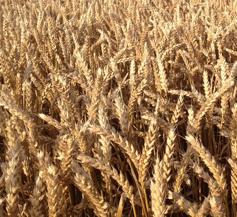 maximizing wheat crop yield and profits in NW Ohio